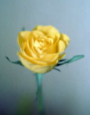 Yellow Rose 2-7 by Bartolomy.jpg