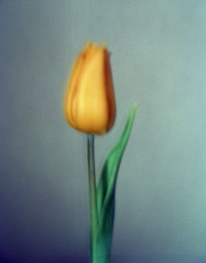 Yellow Tulip 2-10 by Bartolomy.jpg